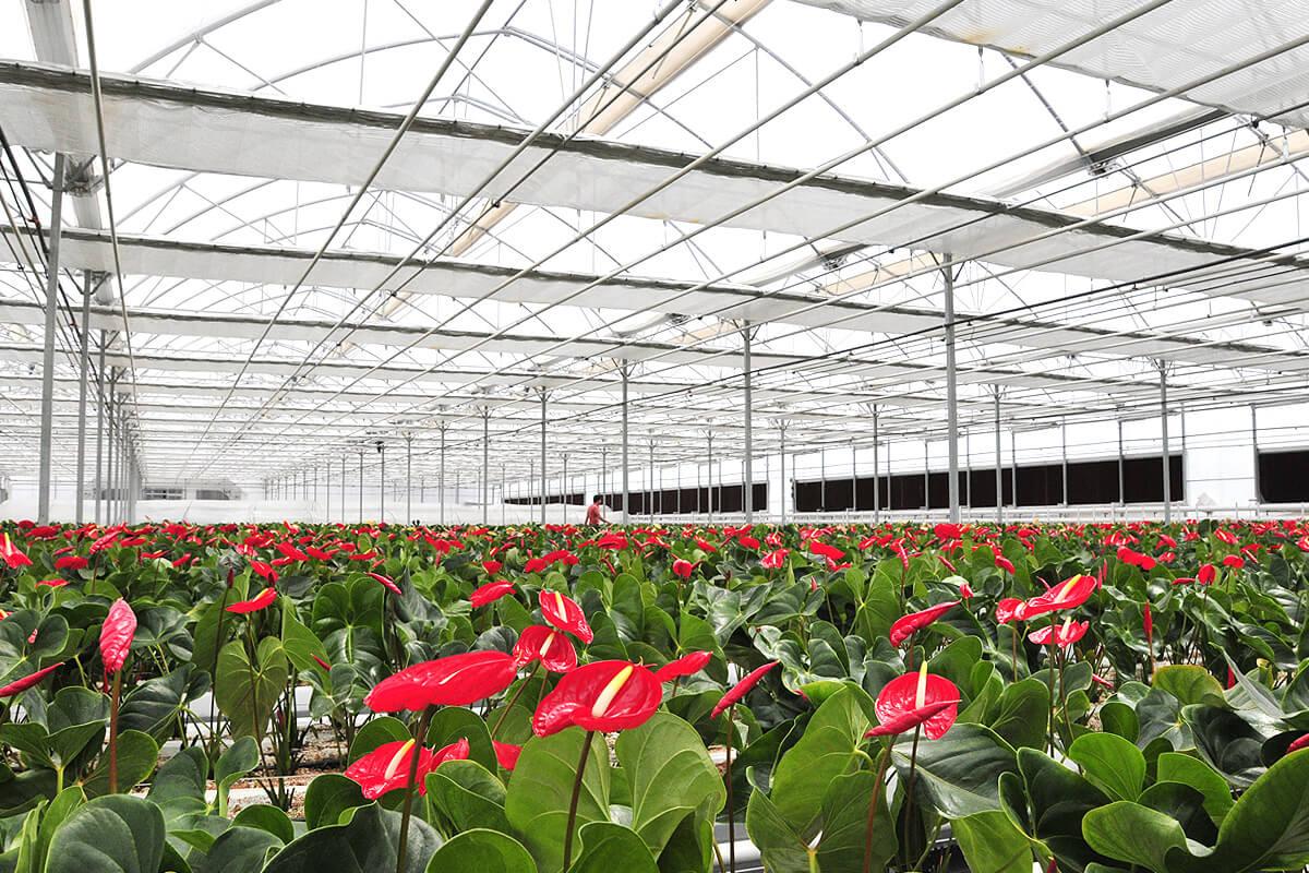 Invernaderos para floricultura cultivo de plantas for Plantas para invernadero