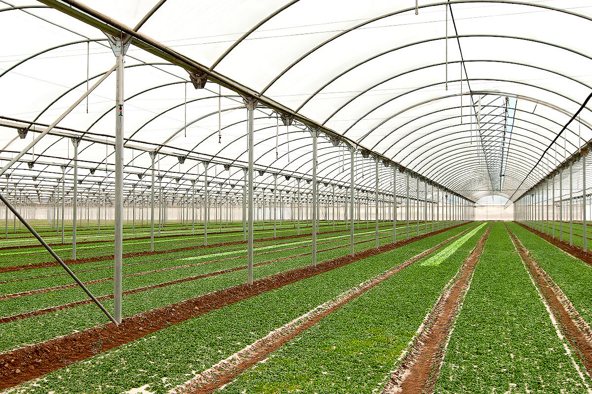Cultivation of fresh-cut lettuces